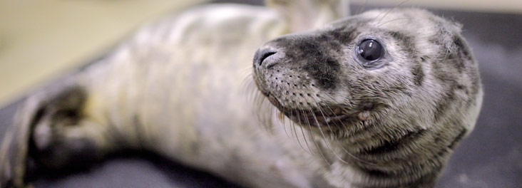 Profile of juvenile Grey Seal © RSPCA photolibrary