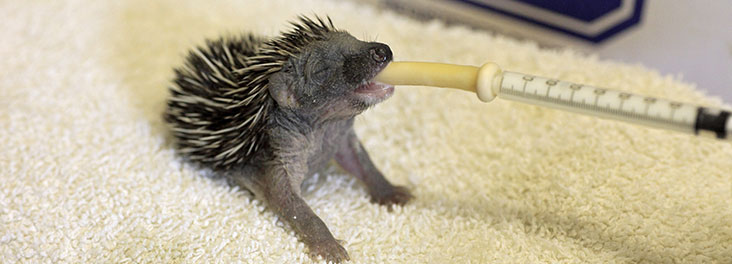 Hoglet being hand fed at an RSPCA Wildlife Centre © RSPCA Photolibrary