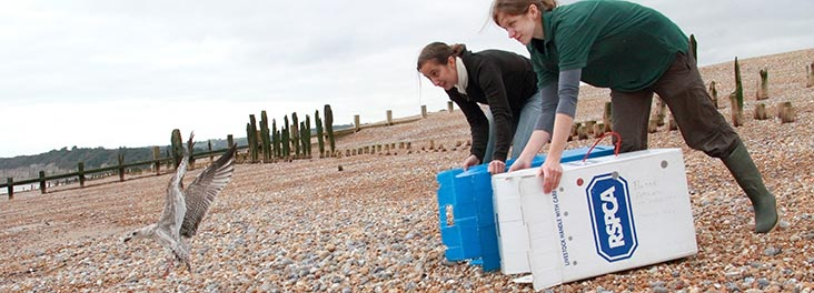 RSPCA Wildlife volunteer helping to release a gull © RSPCA photolibrary