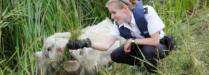 Rescue of Bull from Drainage Ditch © RSPCA photolibrary