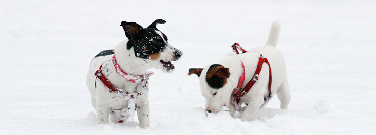 Two dogs playing in the snow at   Christmas © RSPCA Photolibrary