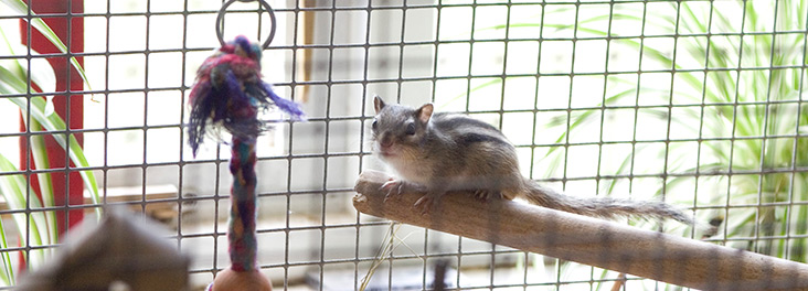 Pet chipmunk in cage with toyPet chipmunk in cage with toy