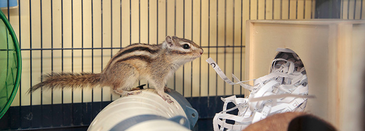 Pet chipmunk in cage with shredded paper