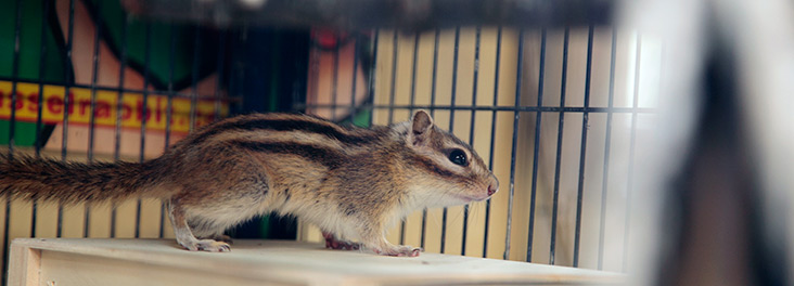 Chipmunk looking out of cage © RSPCA