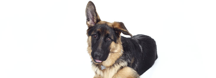 Portrait of single jouvenile German shepard © RSPCA photolibrary