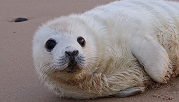 Baby seal alone on the beach © RSPCA