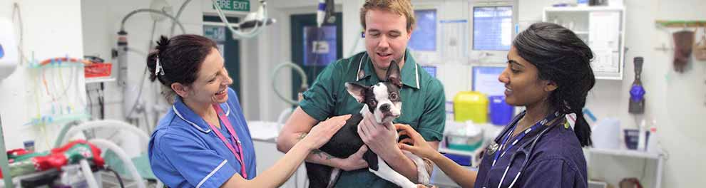 Animal Centre senior clinician veterinary nurse holding Boston terrier © RSPCA photolibrary