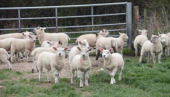 Sheep together in a field © RSPCA