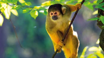 Squirrel monkey in a tree (c) istock photolibrary