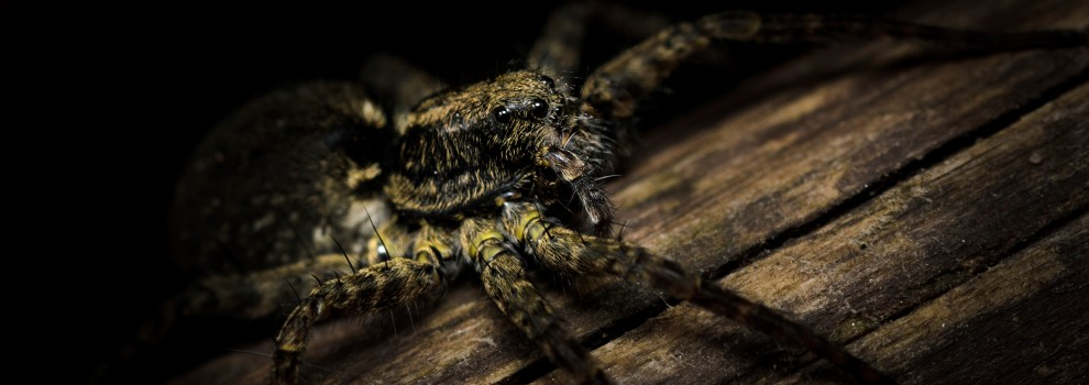Wolf spider in the dark © Joshua Myers