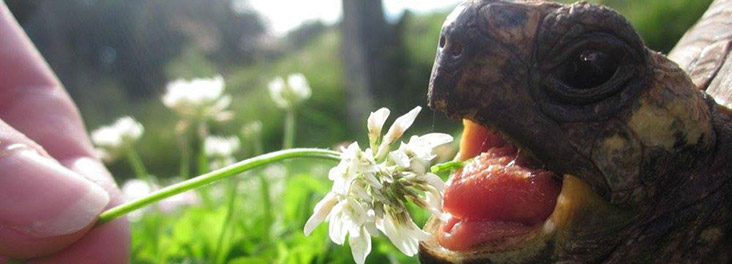 Tortoise eating flower © Steph Toogood