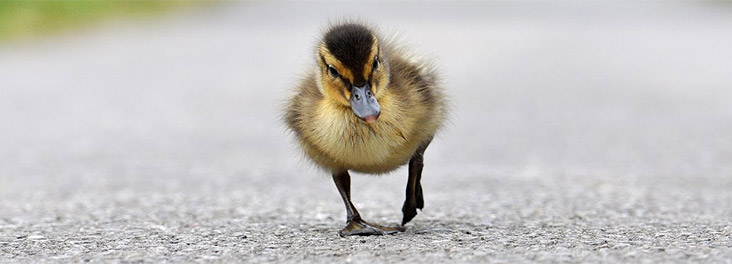 Duckling walking on the road