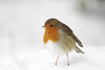 Robin standing in snow © Becky Murray/RSPCA Photolibrary