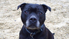 Rocky the staffy © RSPCA