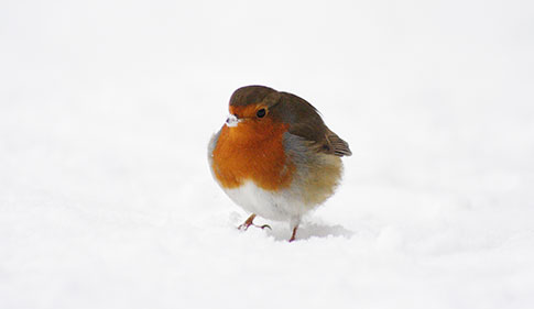 Robin in winter garden © RSPCA Photolibrary