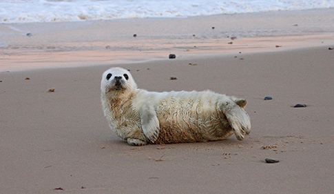 Grey seal pup found alone on a beach