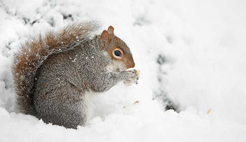 Grey squirrel in wintery conditions © RSPCA Photolibrary