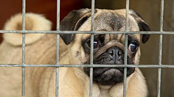 Pug looking sad through a cage © RSPCA